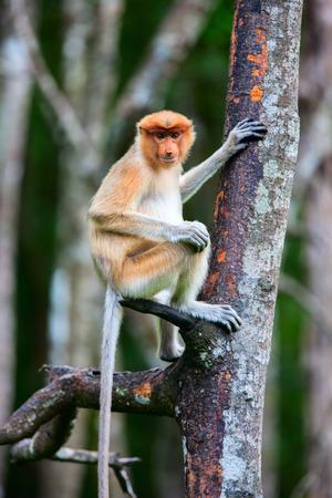 sandakan: Female proboscis monkey in a wild on Borneo island in Malaysia