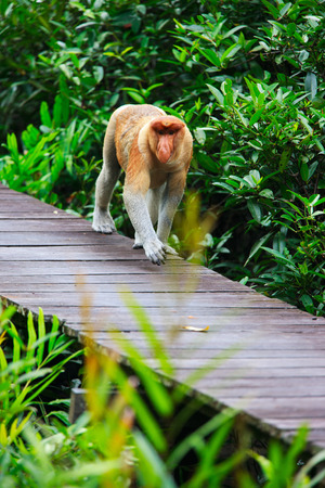 proboscis: Proboscis monkey endemic of Borneo island in Malaysia Stock Photo