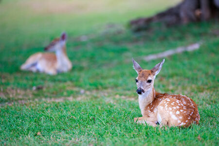 Kleine Hirsch Reh mit weißen Flecken auf Gras Standard-Bild