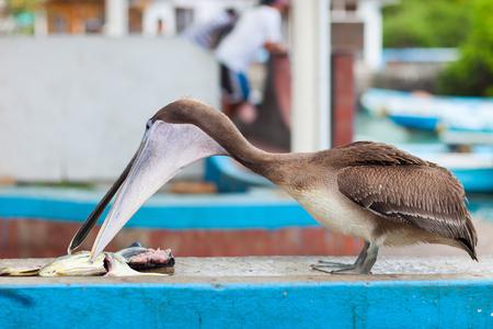 city fish market: Brown pelican at fish market at Galapagos island of Santa Cruz Stock Photo