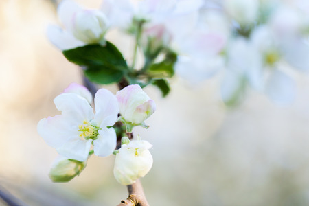 flower close up: Close up of white flowers of blooming apple tree at spring Stock Photo