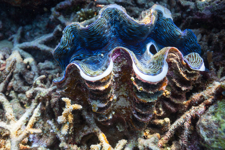 Beautiful coral reef and a giant blue clam underwater at Maldives 版權商用圖片 - 35802588