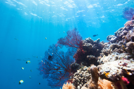 palau: Beautiful colorful coral reef and tropical fish underwater at Palau