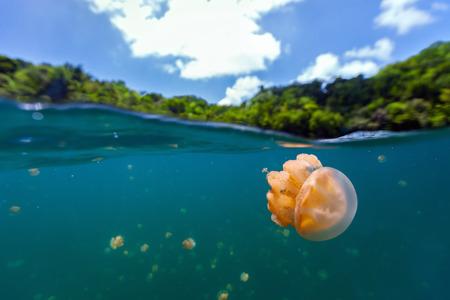 Split foto av endemisk gyllene maneter i sjön vid Republiken Palau. Snorkling i Jellyfish Lake är en populär aktivitet för turister till Palau.