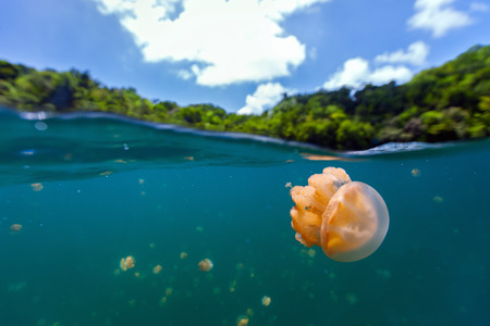 subspecies: Split photo of endemic golden jellyfish in lake at the Republic of Palau. Snorkeling in Jellyfish Lake is a popular activity for tourists to Palau. Stock Photo