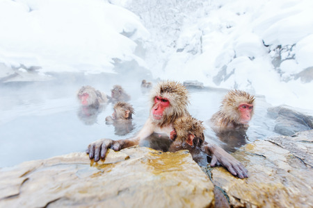 Snow Monkeys Japanese Macaques bathe in onsen hot springs of Nagano, Japan Stock Photo