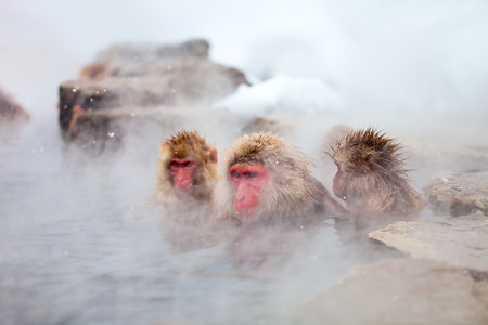 bath: Snow Monkeys Japanese Macaques bathe in onsen hot springs of Nagano, Japan Stock Photo