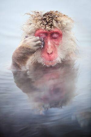 Male snow monkeys Japanese macaque bathe in onsen hot springs of Nagano, Japan 写真素材