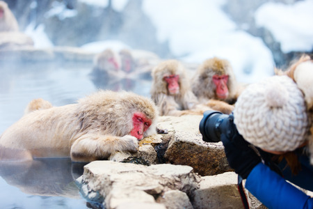 onsen: Snow Monkeys Japanese Macaques bathe in onsen hot springs at Nagano, Japan