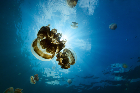 micronesia: Underwater photo of endemic golden jellyfish in lake at Palau. Snorkeling in Jellyfish Lake is a popular activity for tourists to Palau.