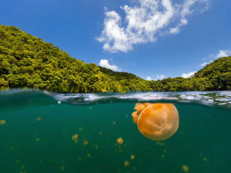 palau: Split photo of endemic golden jellyfish in lake at the Republic of Palau. Snorkeling in Jellyfish Lake is a popular activity for tourists to Palau. Stock Photo