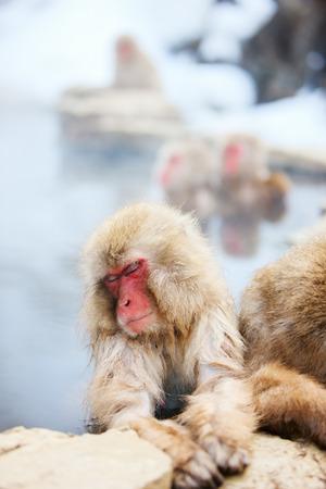 hot springs: Snow Monkeys Japanese Macaques bathe in onsen hot springs at Nagano, Japan