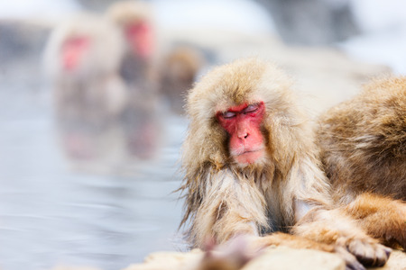 hot spring: Snow Monkeys Japanese Macaques bathe in onsen hot springs of Nagano, Japan Stock Photo