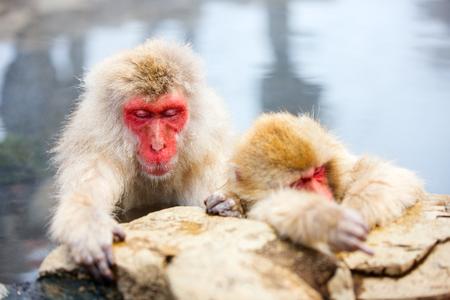 hot springs: Snow Monkeys Japanese Macaques bathe in onsen hot springs of Nagano, Japan Stock Photo