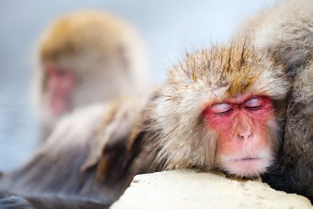 wild asia: Close up of a little Snow Monkey Japanese Macaques