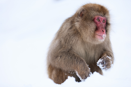 wild asia: Snow Monkey Japanese Macaque on snow at winter in Nagano, Japan