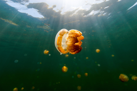subspecies: Underwater photo of endemic golden jellyfish in lake at Palau. Snorkeling in Jellyfish Lake is a popular activity for tourists to Palau.