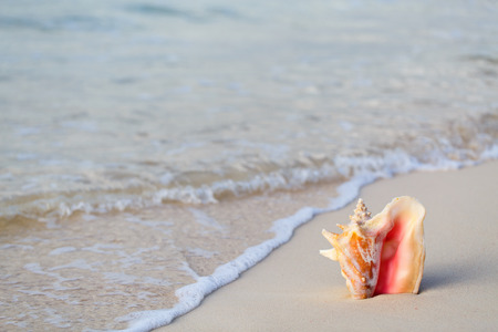 conch shell: Giant conch shell on tropical sand beach