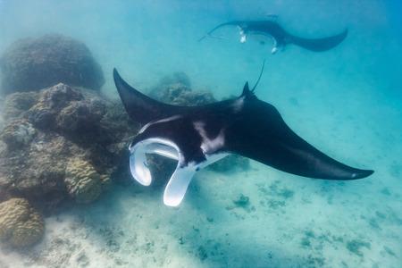 프랑스 령 폴리네시아의 바다에서 만타 레이 수영