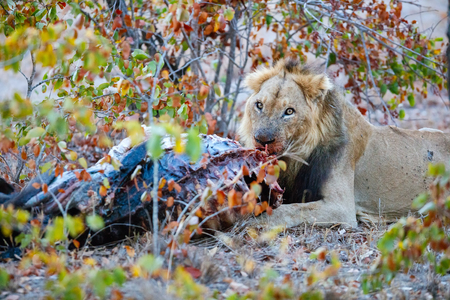 karkas: Male lion eating a buffalo carcass in South Africa Stockfoto