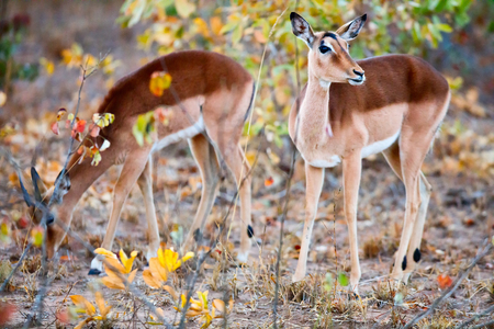 conservation grazing: Young female impala antelopes in South Africa Stock Photo