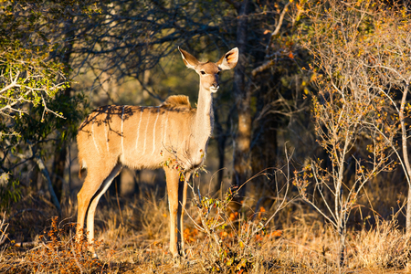conservation grazing: Young female kudu antelopes in South Africa
