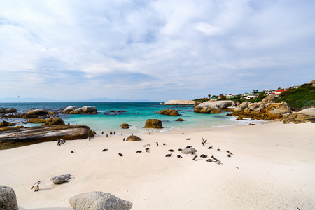 penguin colony: African penguins colony at Boulders beach near Cape Town in South Africa