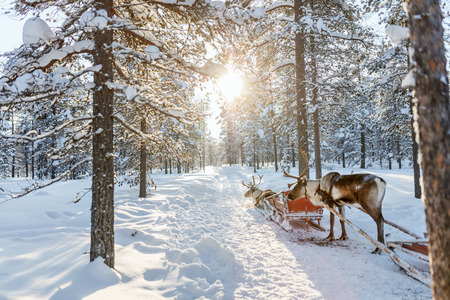 snow forest: Reindeers in a winter forest in Finnish Lapland