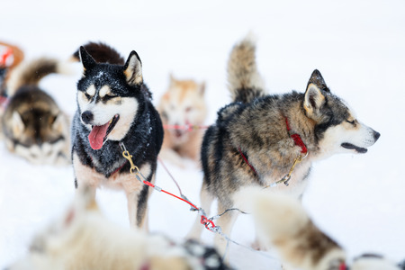 siberian: Sledding with husky dogs in Lapland Finland