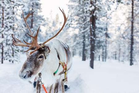 Ren in einem Winterwald im finnischen Lappland Standard-Bild