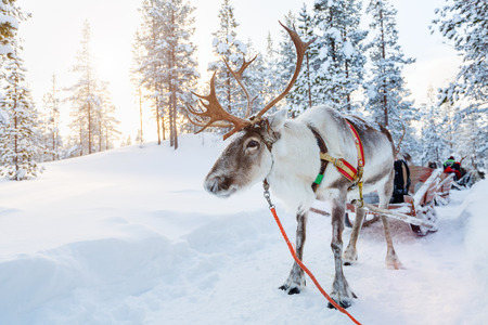 Reindeer in a winter forest in Finnish Lapland Imagens