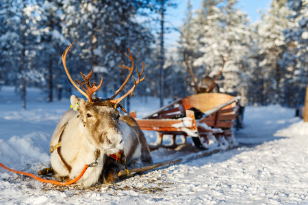 lapland: Reindeer in a winter forest in Finnish Lapland Stock Photo
