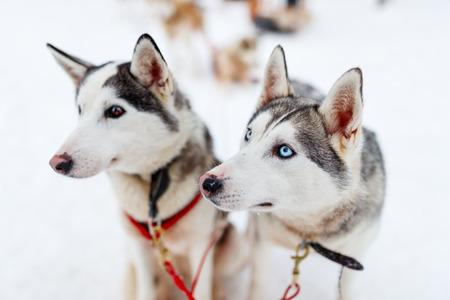 Schlitteln mit Huskys in Lappland Finnland Standard-Bild
