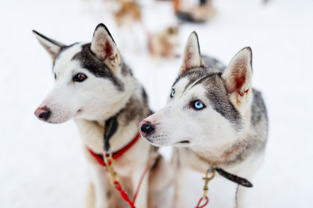 lapland: Sledding with husky dogs in Lapland Finland