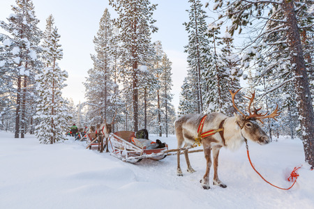 Reindeer safari in a winter forest in Finnish Lapland Zdjęcie Seryjne - 65202529