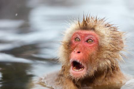 wild asia: Snow Monkey Japanese Macaques bathe in onsen hot springs at Nagano, Japan