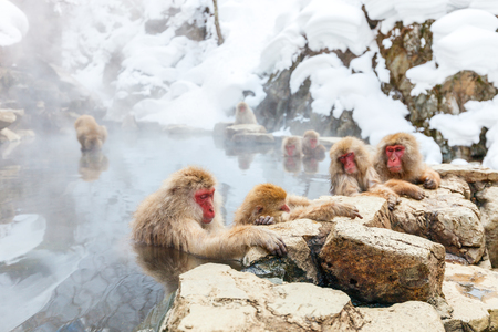 Snow Monkeys Japanese Macaques bathe in onsen hot springs of Nagano, Japan 스톡 콘텐츠