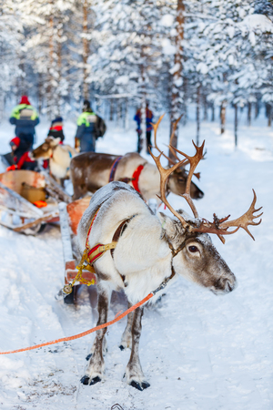 lapland: Reindeers in a winter forest in Finnish Lapland