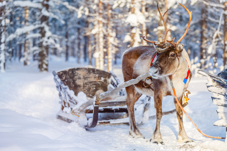 Reindeers in a winter forest in Finnish Lapland Reklamní fotografie - 65202718
