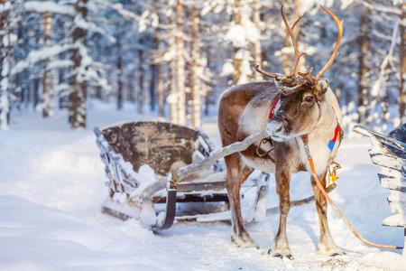 Renifery w lesie zimą w fińskiej Laponii