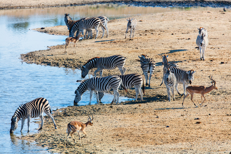 Zebras near watering hole in safari park in South Africa