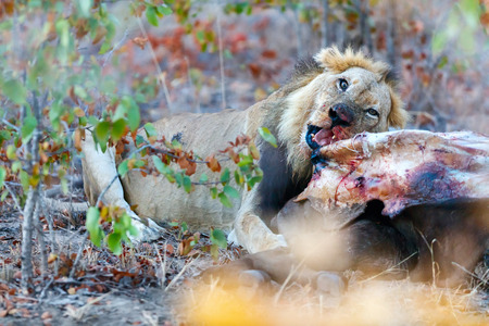 Male lion eating a buffalo carcass in safari park 스톡 콘텐츠