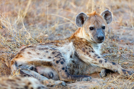 Hyena in safari park in South Africa Foto de archivo