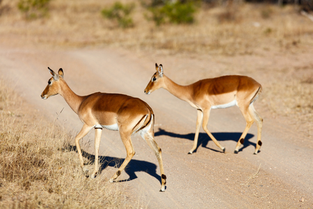 Young female impala antelopes in safari park in South Africa Stock Photo