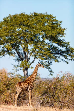 Giraffe in safari park in South Africa