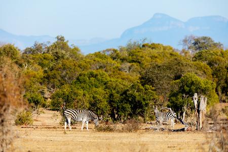 Zebras in safari park in South Africa