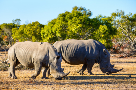 White rhinos grazing in an open field in South Africa