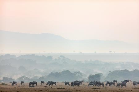 Masai Mara 케냐의 Wildebeests 이른 아침