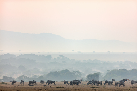Wildebeests early morning in Masai Mara Kenya Banco de Imagens - 90074874