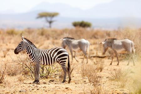 Plaines et zèbres gris dans la réserve nationale de samburu au kenya Banque d'images - 90074879